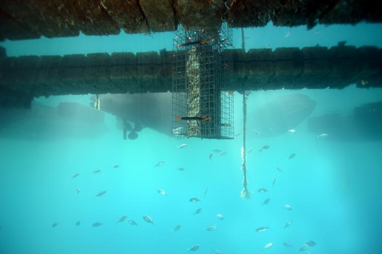 Recréer de l'habitat pour les jeunes poissons dans les ports et donc accroître la biodiversité marine.